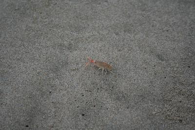 sand shrimp